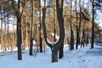 Сосна «Лира» в городе Обнинске